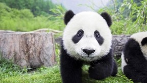 panda,çimen,doğa