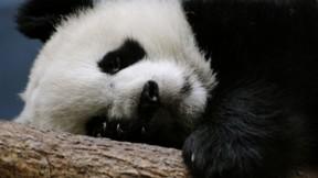 panda,ağaç,doğa,ayı
