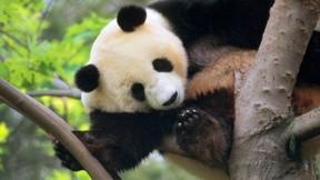 panda,ağaç,doğa