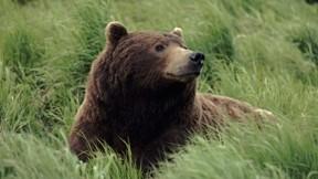 boz ayı,ayı çimen