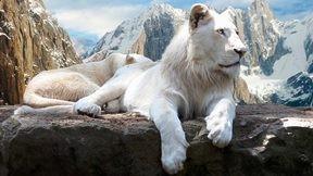 aslan,beyaz aslan,dağ,kar