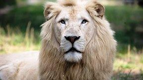 aslan,beyaz aslan
