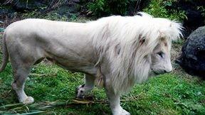 aslan,beyaz aslan,çimen,doğa