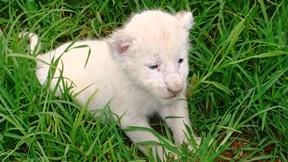 aslan,beyaz aslan,yavru,çimen