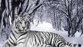 beyaz kaplan,kaplan,kar,orman,ağaç