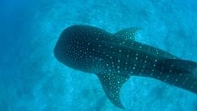 köpekbalığı,deniz,balina