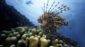 okyanus,aslan balığı,mercan