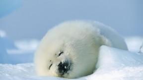 buz,kutup foku,kar,fokgiller