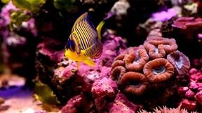 balık,resif,mercan,sumantarı