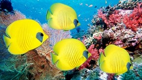 deniz,kelebek balığı,mercan