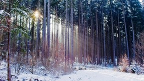 ağaç,orman,kar,çam,güneş