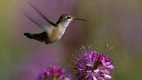 sinek kuşu,kuş,çiçek