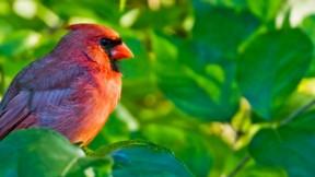 kardinal,kuş,yaprak,güneş