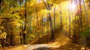 orman,ağaç,güneş,doğa,sonbahar,yaprak