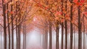 ağaç,doğa,sonbahar,yaprak,sis