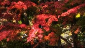 ağaç,sonbahar,kızıl,yaprak