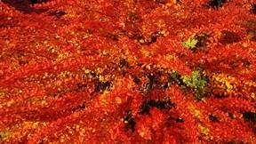 sonbahar,kızıl,yaprak,dal,güneş