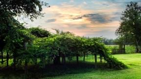 üzüm,meyve,bağ,yaz,ağaç,doğa