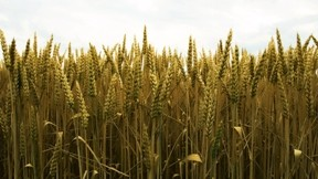 buğday,gökyüzü,yaz,başak