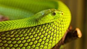 yılan,makro,hayvan,sürüngen