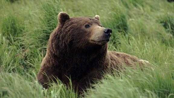 Boz ayı