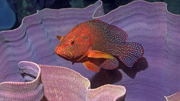 Mercanların İçinde Benekli Balık