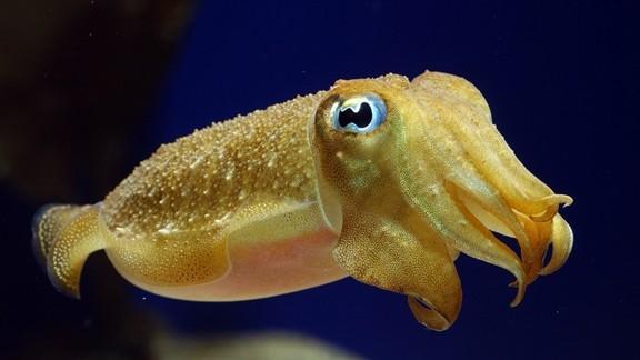 Mürekkep Balığı