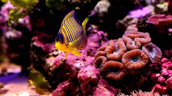 Resif Balığı