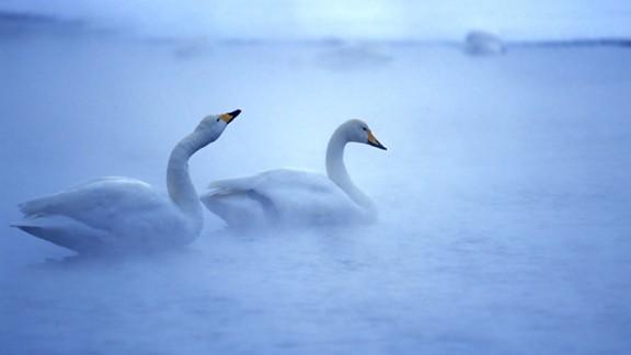 Beyaz Kuğu