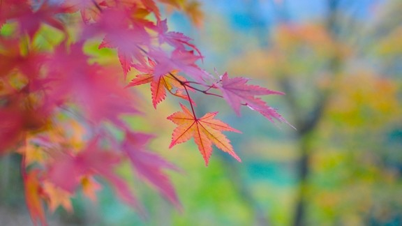 Renkli Akçaağaç Yaprağı