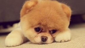 boo,evcil,köpek