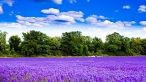 lavanta,çiçek,doğa,orman,gökyüzü