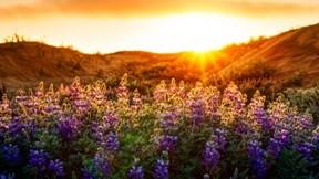 acı bakla,günbatımı,bitki,doğa