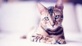 kedi,evcil