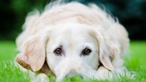köpek,çimen,evcil