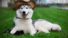 evcil,köpek,çimen,rodeo