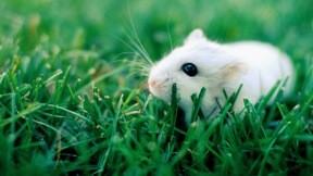 fare,evcil,beyazfare,çimen