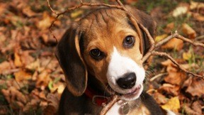 beagle,köpek,yavru,evcil
