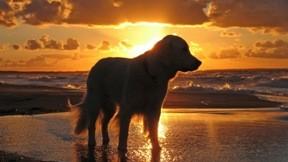 Retriever,kumsal,günbatımı,deniz,köpek