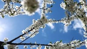 çiçek,ilkbahar,gökyüzü,erik