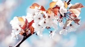 ilkbahar,çiçek,kiraz