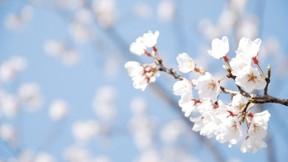 ilkbahar,kiraz,çiçek