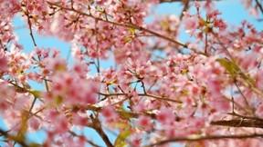 ilkbahar,çiçek,kiraz,makro
