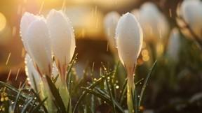 ilkbahar,sabah,yağmur,çiğdem