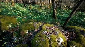 ilkbahar,doğa,nergis,yosun,ağaç