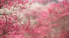 ilkbahar,çiçek,dal,kiraz