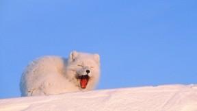 tilki,kutup tilkisi,kar,güneş,gökyüzü
