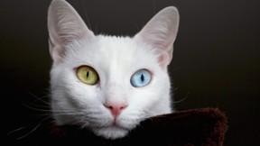 van kedisi,kedi,evcil