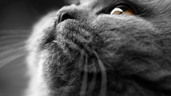 Gri Kedi Yüzü