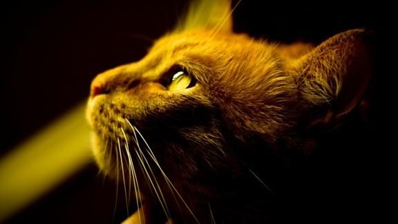 Altın Kedi
